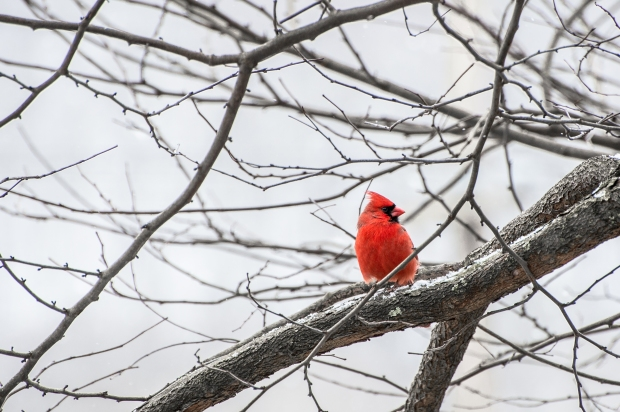 Winter Cardinals - 4