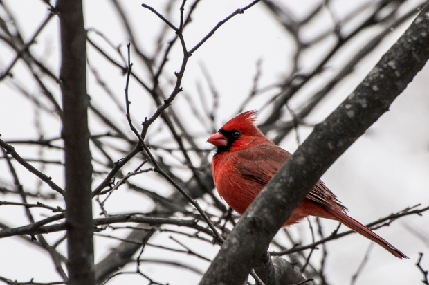 Winter Cardinals - 5