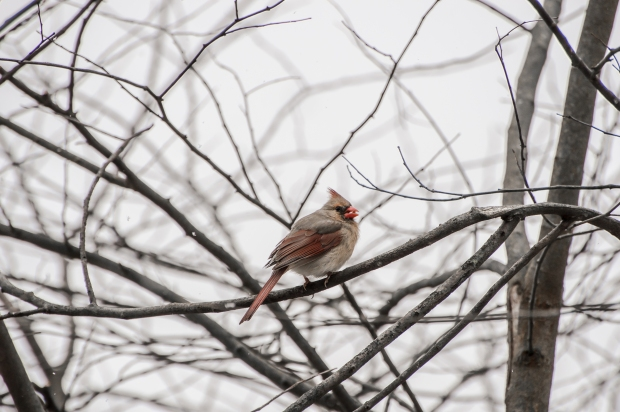Winter Cardinals - 6