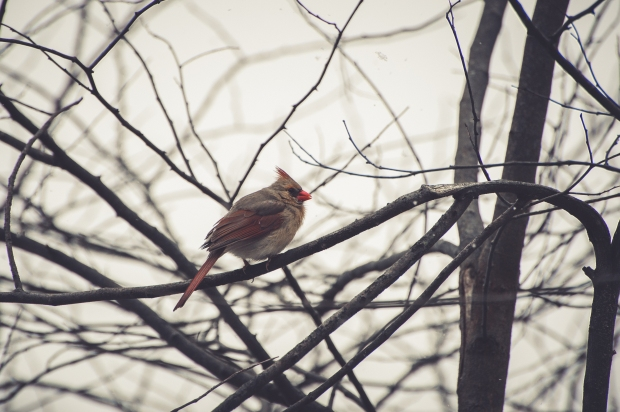Winter Cardinals - 7